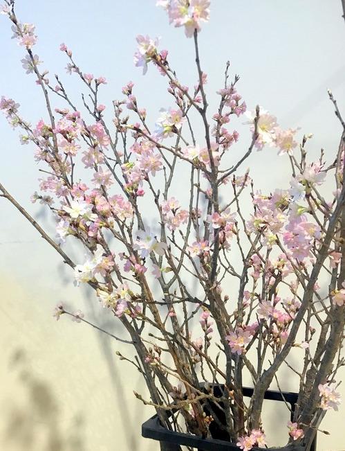 スミス撮影桜.jpg