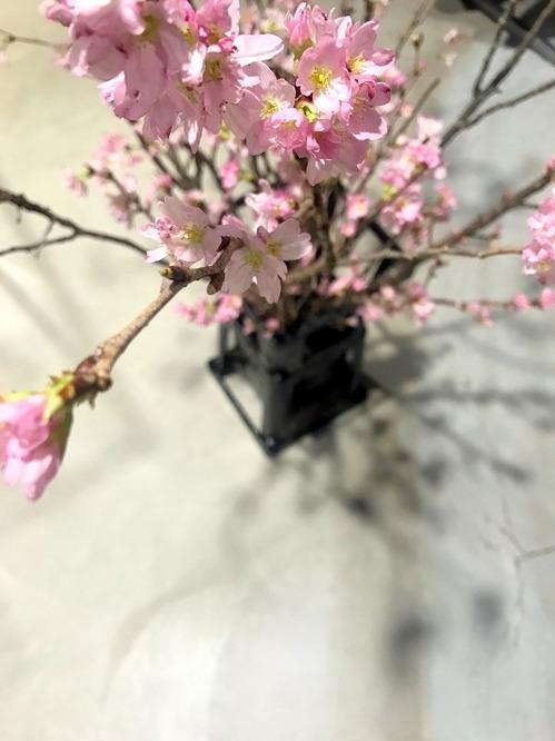 金岡撮影桜アップ.jpg